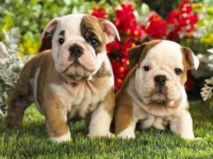 De leukste namen voor je Bulldog pup
