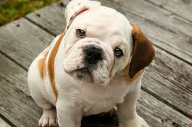 Het gezond opvoeden van Bulldog pups