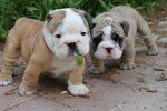 Old English Bulldog puppies kopen