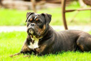 Bulldog karakter: wat je moet weten voor je een bulldog in huis haalt